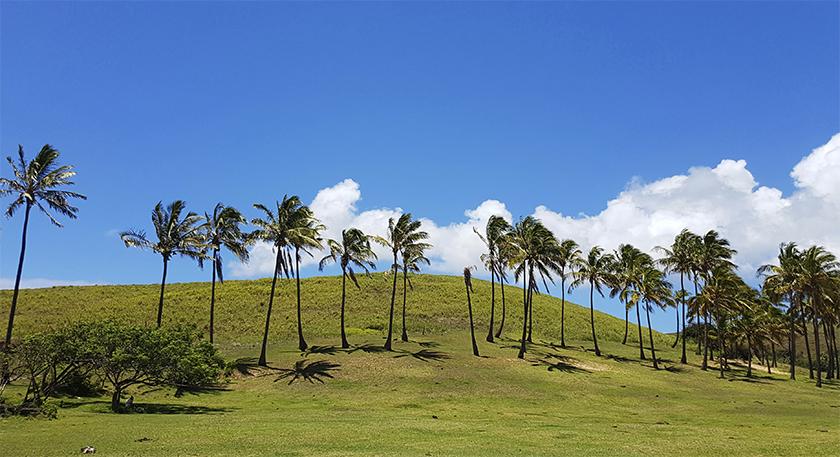 Rapa-Nui-Palm tree-s